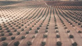 橄榄树小树林 免版税库存照片