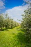 橄榄树小树林 免版税图库摄影