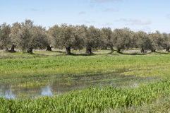 橄榄树小树林 库存照片
