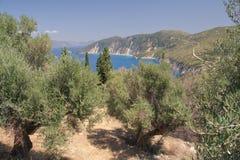 橄榄树小树林 库存图片