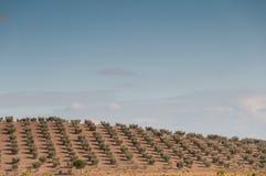橄榄树小树林 图库摄影