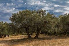 橄榄树希腊 免版税库存图片