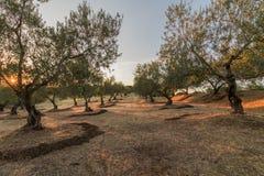 橄榄树希腊 库存图片