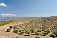 橄榄树庭院 希腊 免版税库存照片