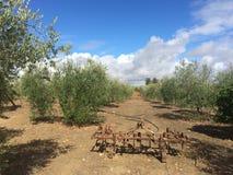 橄榄树收获  库存图片