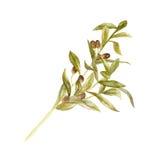橄榄树枝用在白色背景,手拉的水彩例证的绿橄榄 免版税库存图片