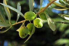 橄榄树枝用果子在10月 库存照片