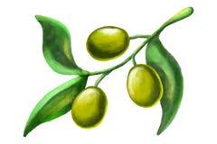 橄榄树枝水彩例证 免版税库存照片