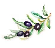 橄榄树枝 库存照片