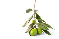 橄榄树枝 图库摄影