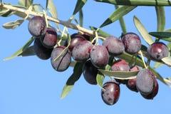 橄榄树枝 免版税库存图片