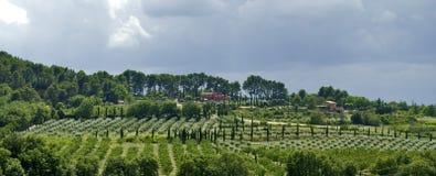 年轻橄榄树树丛和柏树Roussilon 免版税库存照片