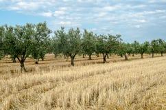 橄榄树树丛 库存照片