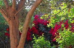 橄榄树树干和bolugainvillea灌木 免版税图库摄影