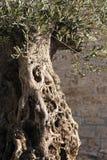 橄榄树树干 免版税图库摄影