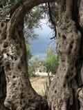 橄榄树树干 库存图片