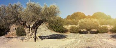 橄榄树横幅 图库摄影