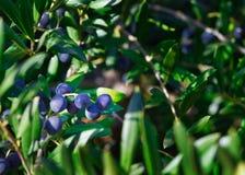 橄榄树用在领域的新鲜水果 免版税库存图片