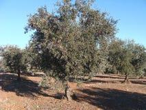 橄榄树用对此的果子 免版税图库摄影