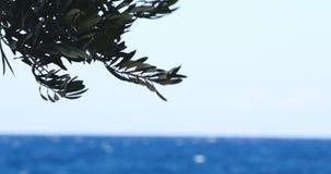 橄榄树由背景的海分支 股票录像