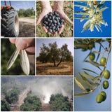 橄榄树的农业的概念 免版税库存图片