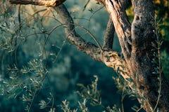 橄榄树的树干的特写镜头  橄榄树小树林和加尔省 免版税库存图片