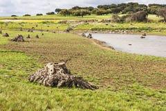 橄榄树的根 图库摄影