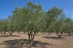 橄榄树的西班牙领域用果子 免版税库存照片