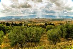 橄榄树的领域在与太阳爆炸的多云天空下 免版税库存图片
