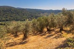 橄榄树种植园在托斯卡纳 免版税库存照片