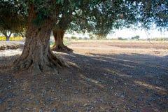 橄榄树种植园在11月的意大利乡下 免版税图库摄影