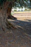 橄榄树种植园在11月的意大利乡下 免版税库存图片