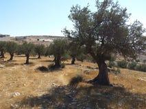 橄榄树领域 免版税库存照片