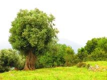 橄榄树,伊塔卡海岛,希腊 免版税库存照片