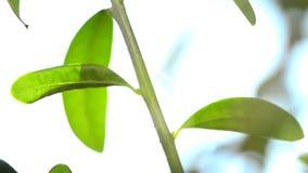 橄榄树,叶子 股票视频