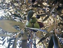 橄榄树,在贝加莫,意大利,octobre 2018年 免版税库存图片