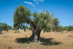 橄榄树,大约 1000岁甚至更多 橄榄树种植园在安达卢西亚,安大路西亚 西班牙 欧洲 库存照片