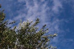 橄榄树,意大利,普利亚 图库摄影