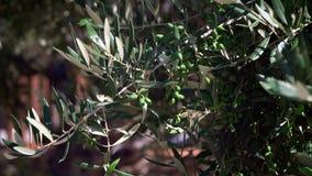 橄榄树,果树分支  股票视频