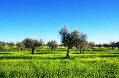 橄榄树,黄色花田 免版税库存照片