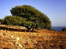 橄榄树 免版税图库摄影
