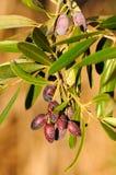 橄榄树 图库摄影