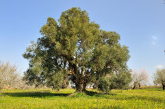 橄榄树 免版税库存图片