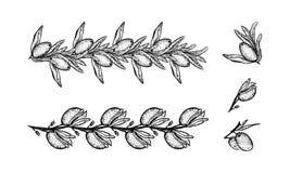 橄榄概述了在黑白设置的分支 库存例证