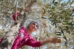 橄榄色收获在巴勒斯坦 库存照片