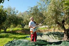 橄榄色收获 库存照片