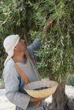 橄榄色收获 免版税库存图片
