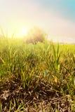 橄榄色日出结构树 库存图片