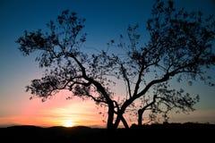 橄榄色日落结构树 库存图片