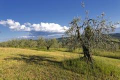橄榄色春天结构树 免版税图库摄影